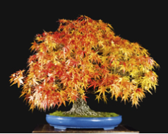 Rough Bark Japanese Maple Seedling