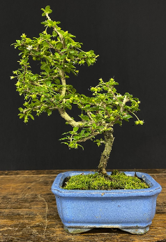 207 Fukien Tea