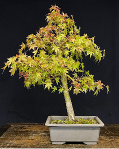 B-13  Dwarf Japanese Maple