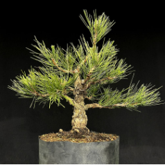Dwarf Cork-Bark Japanese Black Pine*