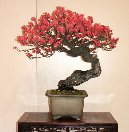 Kokufu Ten Bonsai Exhibition Japanese flowering apricot