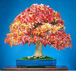 "<font size=""4"" color=""0000ff"">Trident Maple</font><br/><font size=""4"" color=""40800""><i>Acer buergerianum</i></font><br><font size=""1"">Trained from field-grown nursery stock since 1985. The small foliage is reddish in early spring</font>"