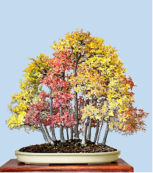 "<font size=""4"" color=""0000ff"">Chinese Elm (Autumn View)</font><br/><font size=""4"" color=""40800""><i>Ulmus parvifolia</i></font><br><font size=""1"">Since seedlings vary genetically, each has its own autumn coloring</font>"