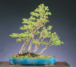 "<font size=""4"" color=""0000ff"">American Larch</font><br/><font size=""4"" color=""40800""><i>Larix laricina</i></font><br><font size=""1"">Trained from an ancient collected tree since 1993</font>"