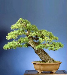 "<font size=""4"" color=""0000ff"">Scots Pine</font><br/><font size=""4"" color=""40800""><i>Pinus sylvestris</i></font><br><font size=""1"">Trained from field-grown Christmas tree since 1994</font>"