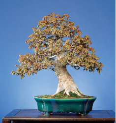 "<font size=""4"" color=""0000ff"">Trident Maple (Spring View)</font><br/><font size=""4"" color=""40800""><i>Acer buergerianum</i></font><br><font size=""1"">Trained from a field-grown nursery stock since 1980</font>"