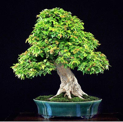 "<font size=""4"" color=""0000ff"">Trident Maple (Summer View)</font><br/><font size=""4"" color=""40800""><i>Acer buergerianum</i></font><br><font size=""1"">Trained from a field-grown nursery stock since 1980</font>"