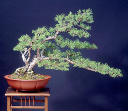 "<font size=""4"" color=""0000ff"">Scots Pine</font><br/><font size=""4"" color=""40800""><i>Pinus sylvestris</i></font><br><font size=""1"">Trained from container-grown nursery stock since 1995</font>"