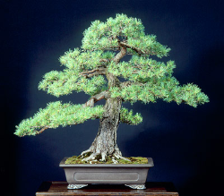 "<font size=""4"" color=""0000ff"">Dwarf Scots Pine</font><br/><font size=""4"" color=""40800""><i>Pinus sylvestris 'RAF'</i></font><br><font size=""1"">Trained from a ten year old container-grown seedlings since 1980</font>"