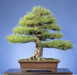 "<font size=""4"" color=""0000ff"">Dwarf Austrian Pine</font><br/><font size=""4"" color=""40800""><i>Pinus nigra</i> 'Hornibrook'</font><br><font size=""1"">Trained from a young container-grown graft since 1969</font>"
