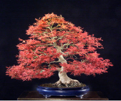 "<font size=""4"" color=""0000ff"">Seigen Japanese Maple</font><br/><font size=""4"" color=""40800""><i>Acer palmatum 'Seigen'</i></font><br><font size=""1"">Trained from a grafted plant since 1980</font>"