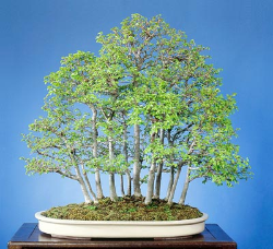 "<font size=""4"" color=""0000ff"">Chinese Elm (Spring View)</font><br/><font size=""4"" color=""40800""><i>Ulmus parvifolia</i></font><br><font size=""1"">Trained from two year old field grown seedlings since 1988</font>"